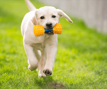 Mistakes-To-Avoid-When-Training-Labrador